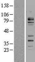 NBL1-10661 - FCHSD2 Lysate