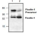 NBP1-45567 - Ficolin-1