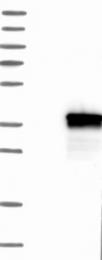 NBP1-84705 - Ficolin-1