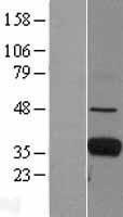 NBL1-10662 - FCN1 Lysate