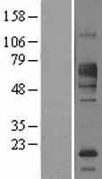 NBL1-10664 - FCRL1 Lysate