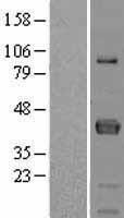 NBL1-10666 - FCRLM1 Lysate