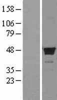 NBL1-10668 - FDFT1 Lysate