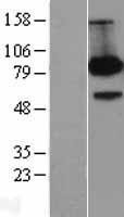 NBL1-07590 - FE65 Lysate