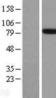 NBL1-07591 - FE65 Lysate