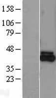 NBL1-10673 - FECH Lysate