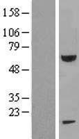 NBL1-10674 - FEM1B Lysate