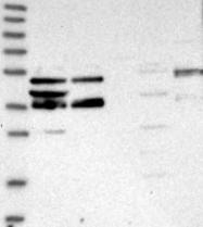 NBP1-90909 - Zygin-2