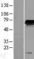 NBL1-10685 - FGD2 Lysate