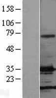 NBL1-10694 - FGF basic / FGF2 Lysate