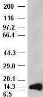 NBP1-47748 - FGF acidic / FGF1