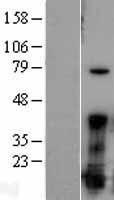 NBL1-10687 - FGF1 Lysate