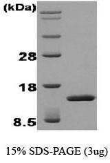 NBC1-18465 - FGF acidic / FGF1