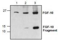 NBP1-45559 - FGF10