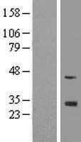 NBL1-10689 - FGF13 Lysate