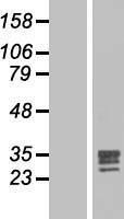 NBL1-10691 - FGF17 Lysate
