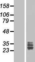 NBL1-10692 - FGF18 Lysate