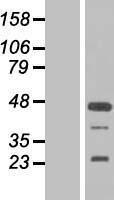 NBL1-10693 - FGF19 Lysate