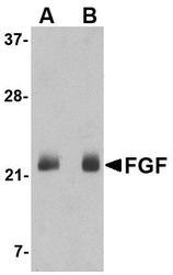 NBP1-76865 - FGF4