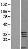 NBL1-10698 - FGF5 Lysate