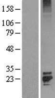 NBL1-10700 - FGF7 Lysate