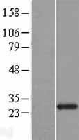 NBL1-10701 - FGFBP2 Lysate