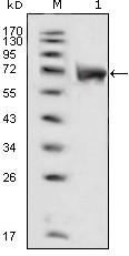 NBP1-47451 - FGFR1