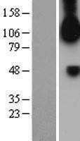 NBL1-10702 - FGFR1 Lysate