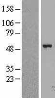 NBL1-10709 - FGGY carbohydrate kinase domain containing Lysate