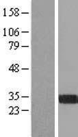 NBL1-10710 - FGL1 Lysate