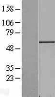 NBL1-10712 - FGR Lysate