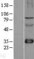 NBL1-10714 - FHL1 Lysate