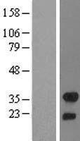 NBL1-10715 - FHL2 Lysate