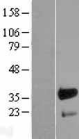 NBL1-10716 - FHL3 Lysate