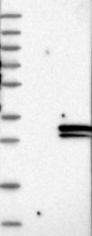 NBP1-81154 - FIBIN