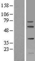 NBL1-10724 - FIGNL1 Lysate
