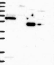 NBP1-85064 - FIP1L1