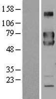 NBL1-10729 - FKBP10 Lysate