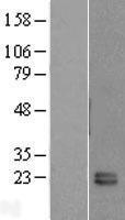 NBL1-10730 - FKBP11 Lysate