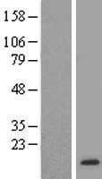 NBL1-10733 - FKBP12 Lysate