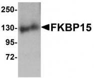 NBP1-77352 - FKBP15