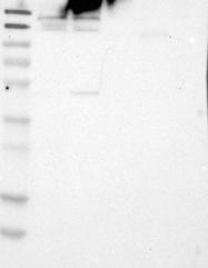 NBP1-82972 - FKBP15