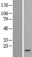 NBL1-10736 - FKBP2 Lysate