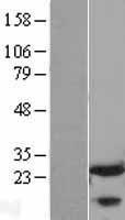 NBL1-10737 - FKBP25 Lysate