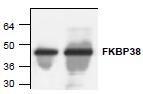 NBP1-45571 - FKBP8 / FKBP38
