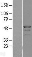 NBL1-10739 - FKBP5/FKBP51 Lysate