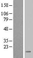NBL1-10741 - FKBP9L Lysate