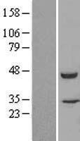 NBL1-10742 - FKBPL Lysate