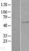 NBL1-10743 - FKRP Lysate