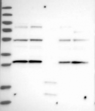 NBP1-84752 - FAD synthetase